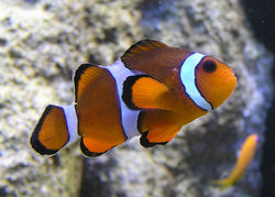 Marlin, Coral, and Nemo are Percula Clownfish.