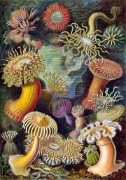 Sea anemones from Ernst Haeckel's Kunstformen der Natur (Artforms of Nature) of 1904.