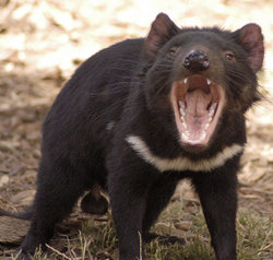 A male Tasmanian Devil.